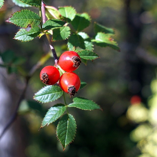 How Rosehip Oil Can Visibly Reduce Scarring