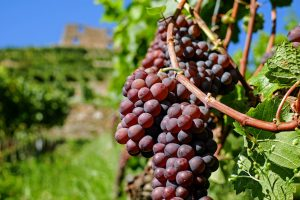 Why PCOS Sufferers Need Resveratrol For Reducing Insulin Resistance